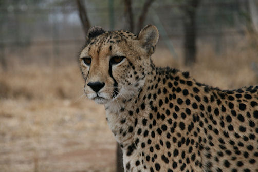Cheetah at Tshukudu
