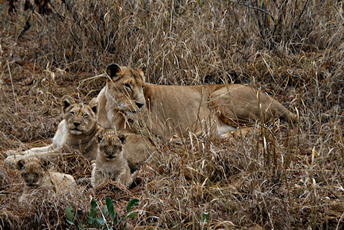 Lion family at Tshuduko