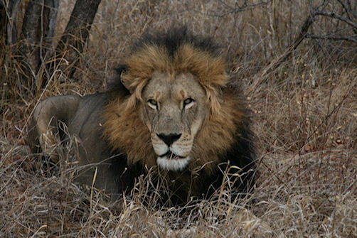 Lion at Tshuduku